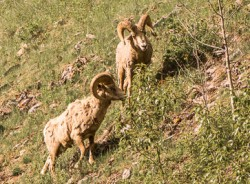 Photo of Rocky Mountain sheep