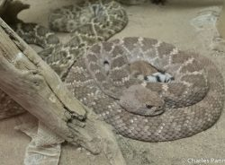 Western Diamondback Rattlesnake at the American International Rattlesnake Museum