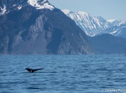 Humpback whale fluking on Kenai Fjords Tour