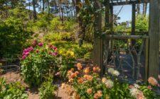 Dahlia garden at Mendocino Coastal Botanical Gardens
