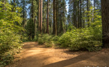 The North Trail at Calaveras Big Trees State Park