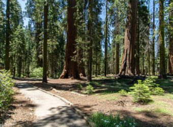 Enjoy the Giant Sequoias in Wheelchair-Accessible McKinley Grove