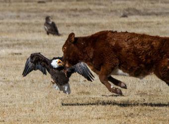 It's Bald Eagle Season in Carson Valley!