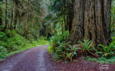 Accessible travel on the Lost Man Creek Trail - wide, flat trail in redwood trees